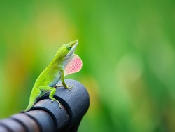 Green Anole lizard (Anolis carolinensis) showing off his bright pink dewlap on an iron bench in the garden. Natural green background with copy space.