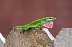 Green Anole lizard (Anolis carolinensis) showing off his bright pink dewlap on top of fence