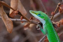 Green anole lizard hanging on a branch in a loropetalum bush
