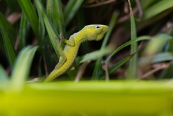 Green Anole Lizard on a Blade of Grass with a Neck Arched