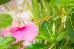 Green Anole Lizard on a Leaf of a Pink Vinca Plant