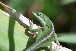Green anole lizard on green plant