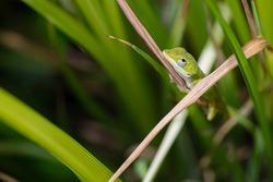 Green Anole Lizard Resting on a Blade of Grass