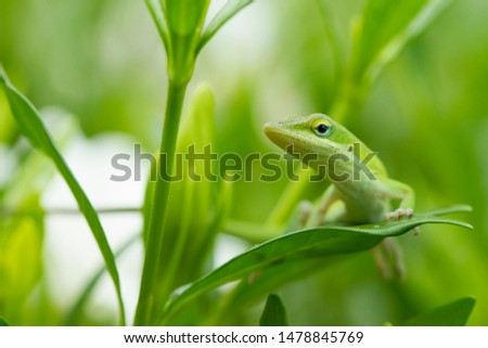 Green Anole Looking to the Left #1478845769