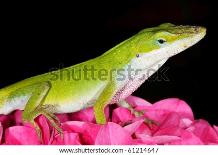 Green Anole on Pink Hydrangea