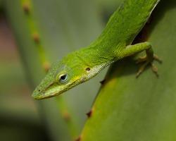 Green anole portrait - Anolis carolinensis