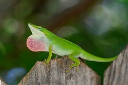 Green Anole showing off his dewlap