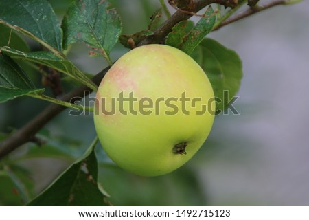 green Appel, growing in South Tyrol, Italy Photo stock ©