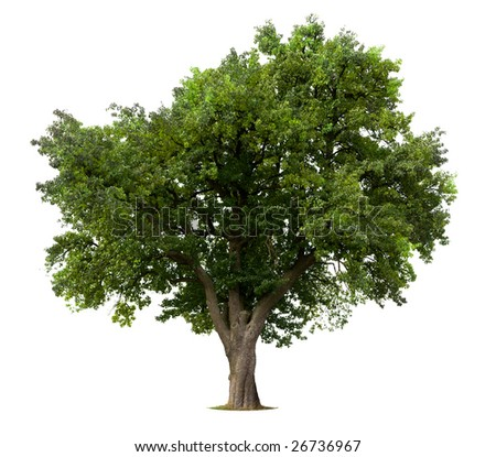 Green Apple tree isolated against white - Shutterstock ID 26736967