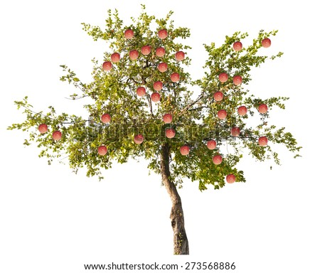 green apple-tree with small fruits isolated on white background