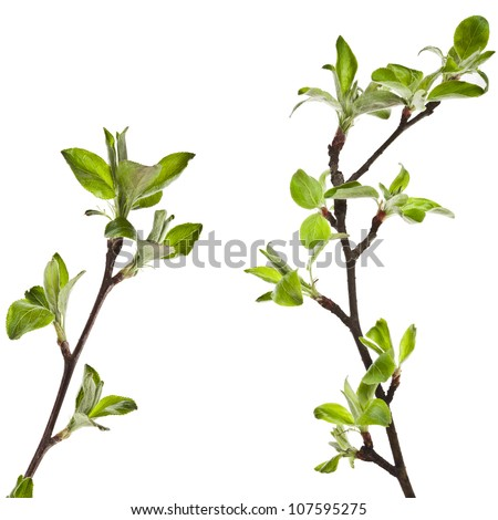 Green apple twig  Isolated on white background