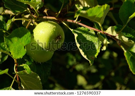 Green apples hanging from a branch in an orchard. Organic farming concept image.