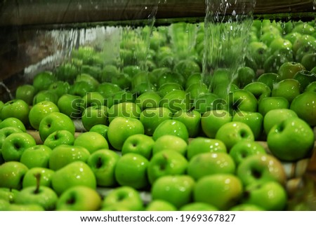 Green apples in focus. Agriculture and production of organic apples. Automated apple washing and sorting machine. Cleaning apples in running water in a modern machine in the production industry