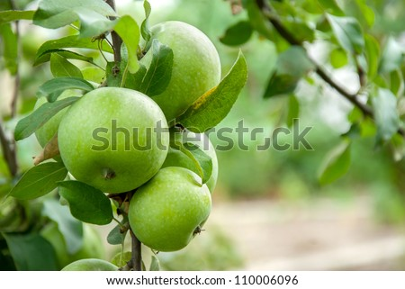 Green apples on a branch ready to be harvested, outdoors, selective focus