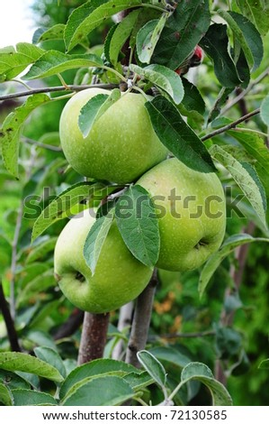 green apples on the tree