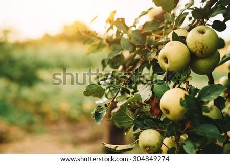 Green apples on tree