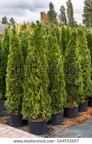 Green arborvitae seedlings #564933697