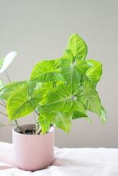 Green Arrowhead House Plant Synonium in Light Pink Pot