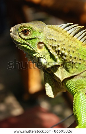 Green Asian Reptile Iguana Close Up - stock photo