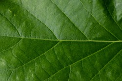 Green avocado leave with detail
