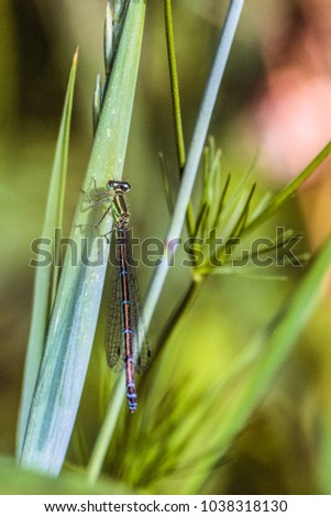 Green-azure dragonfly Arrow Southern close-up. Damselfly Coenagrionidae insect. Selective focus. #1038318130