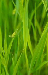 Green baby grasshopper in the meadow
