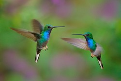 Green-backed Hillstar, Urochroa bougueri leucura, green blue hummingbird from San Isidro in Ecuador. Two birds fly fight in the tropic forest. Hummingbirds flight in nature habitat.