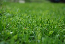 Green background from freshly cut grass. Close-up on small shoots of green lawn grass. The blades are short with jagged ends after they have been cut.