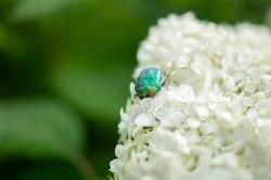 green background with blur, cetonia aurata on white hydrangea