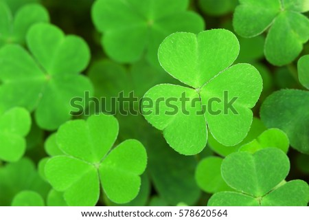 Green  background with three-leaved shamrocks. Shallow depth of field, focus on near leaf