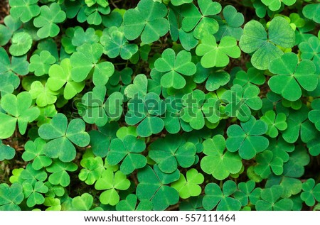 Green background with three-leaved shamrocks. St. Patrick's day holiday symbol.