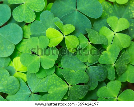 Green background with three-leaved shamrocks. St.Patrick's day holiday symbol. selective focus