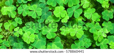 Green background with three-leaved shamrocks. St.Patrick's day holiday symbol. Selective focus.