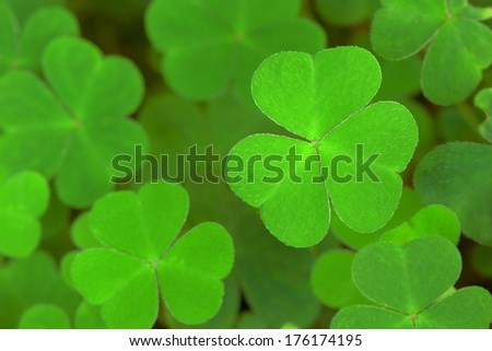 green background with three-leaved shamrocks St.Patrick's day holiday symbol.Shallow depth of field focus on near leaf