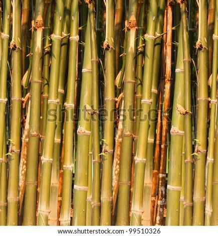 Green bamboo closeup .