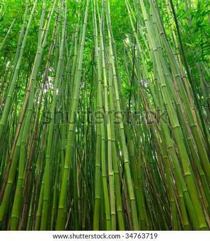Green Bamboo Forest Canopy