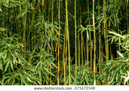 Green bamboo forest in Maui, Hawaii