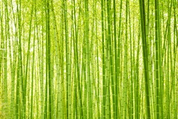 GREEN BAMBOO FOREST IN SUN LIGHT,  NATURAL OUTDOOR BACKGROUND