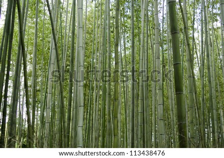 Green bamboo forest seen from the side in Arashiyama, Japan