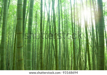 green bamboo forest with sunlight