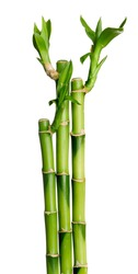 Green bamboo groves on the white background