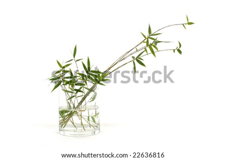 Green bamboo in vase on white