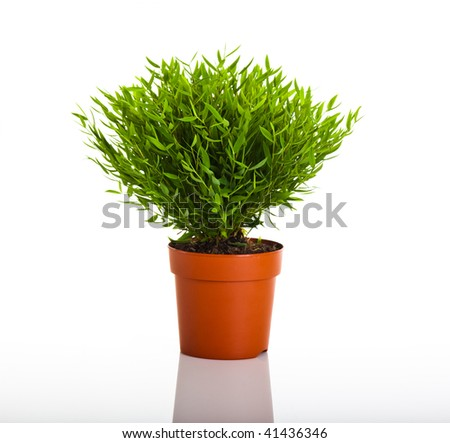 Green bamboo plant isolated on white background
