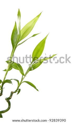 Green bamboo sprout