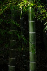 Green bamboo with dark background and sun rays