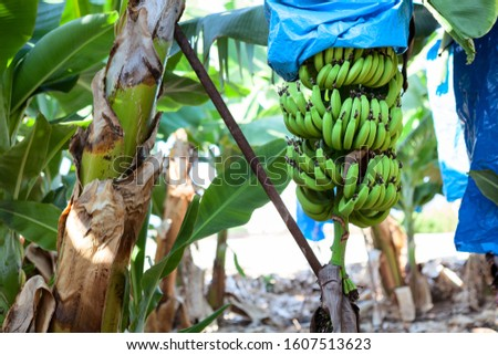 Green banana bunches are encased in plastic bags for protection, plantations is in Tenerife island