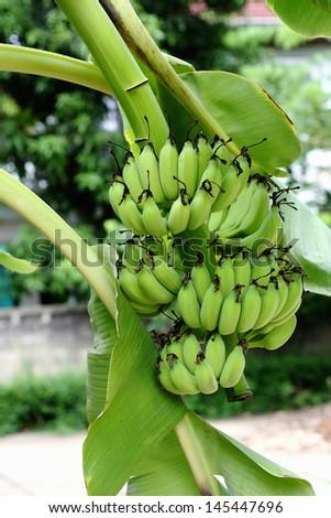 Green banana hanging on a branch of a banana tree