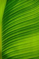 Green banana leaf close-up background