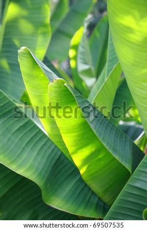 green Banana leaf in nature with daylight