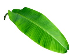 Green banana leaf isolated on white background.